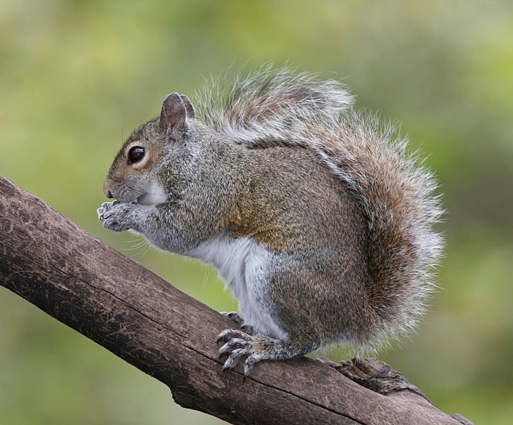 1504521374724pxEastern_Grey_Squirrel.jpg