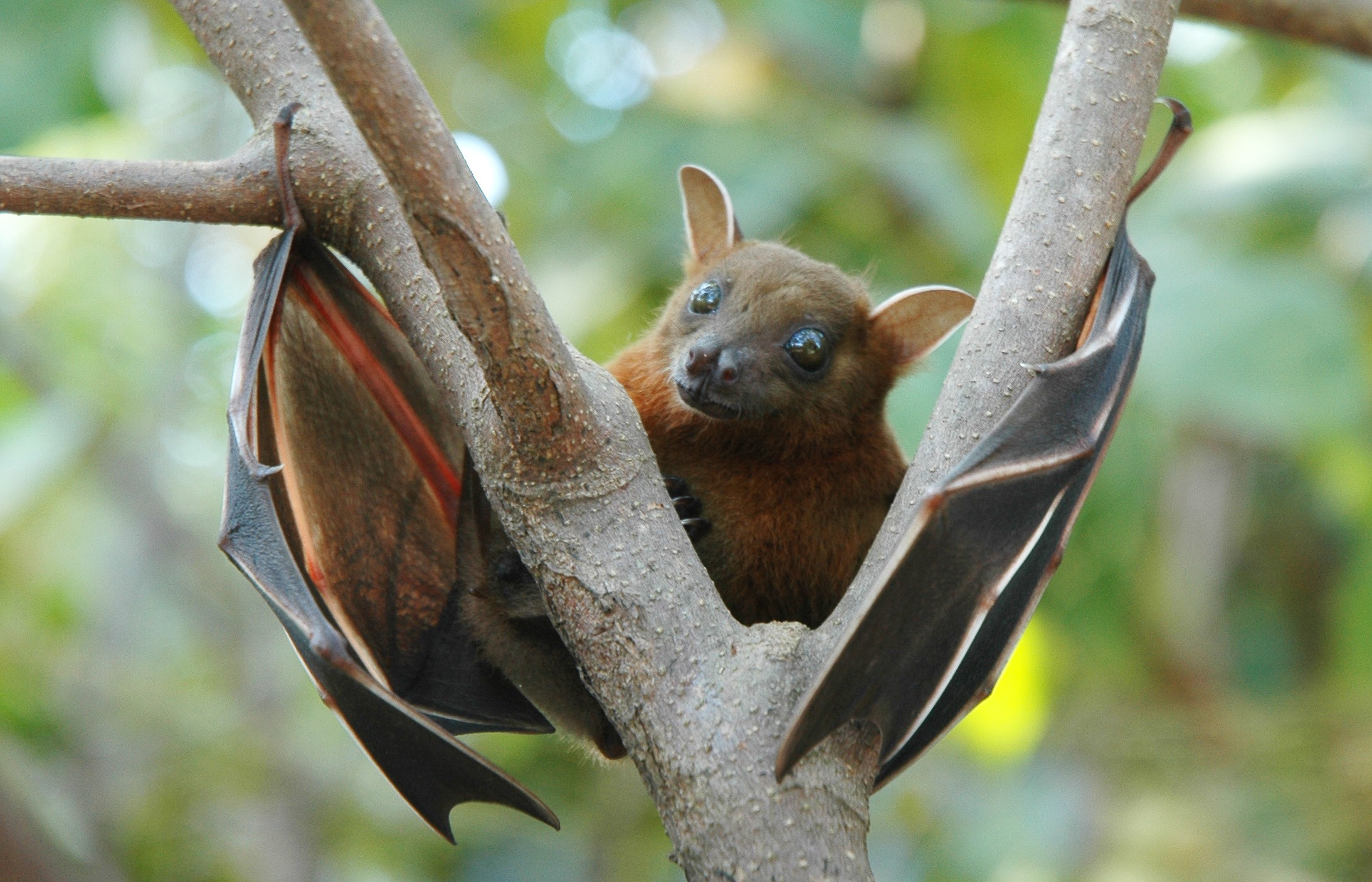 1504521374Lesser_shortnosed_fruit_bat_Cynopterus_brachyotis.jpg